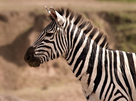 Zebra on the lookout in Masai Mara Kenya Stock Photo - 4070516