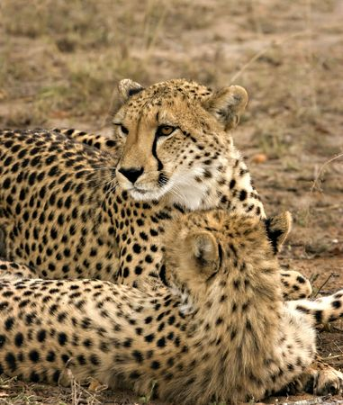 Cheetah mother and cub in Thornybosh Game Reserve South Africa