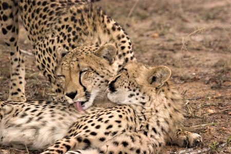 Cheetah mother and cub in Thornybush Game Reserve South Africa Stock Photo - 5381450