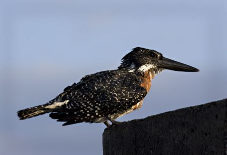 Giant Kingfisher Kruger National Park South Africa Stock Photo - 5381452