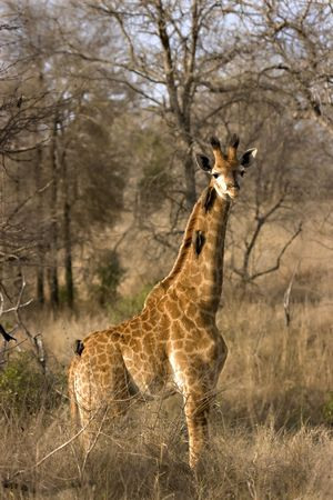 Giraffe calf with oxpeckers on neck in Kruger National Park South Africa Stock Photo - 5381403