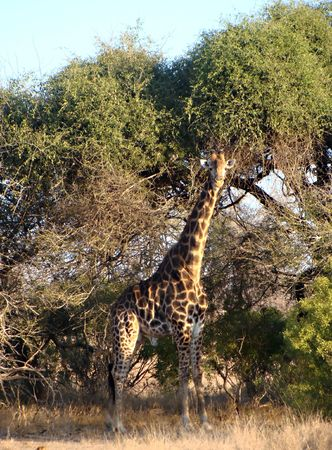Giraffe in Kruger National Park South Africa Stock Photo - 5381454