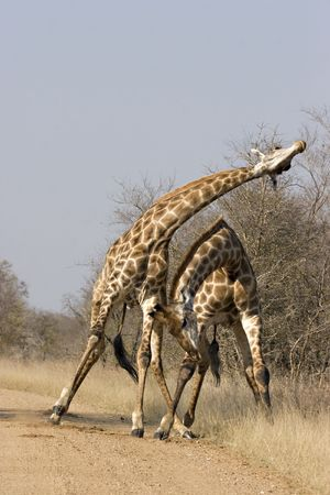 Giraffes fighting in Kruger National Park South Africa Stock Photo