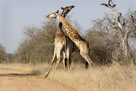 Two giraffes fighting in Kruger National Park South Africa Stock Photo - 5381449