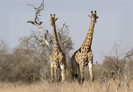 Giraffes in Kruger National Park South Africa