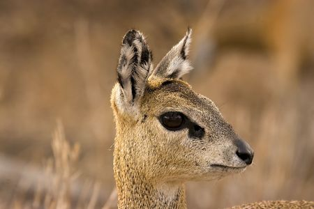 Klipspringer in Kruger National Park South Africa Stock Photo - 5381482