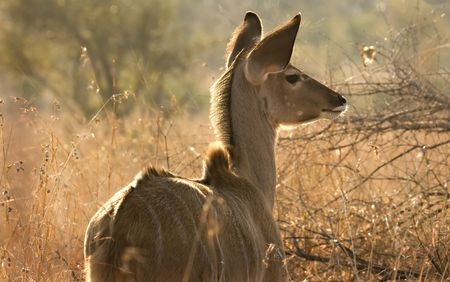 Kudu calf in Kruger National Park South Africa Stock Photo