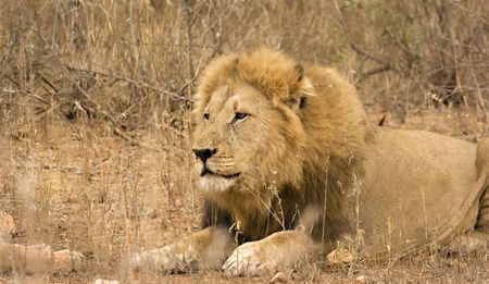 Lion in Kruger National Park South Africa Stock Photo