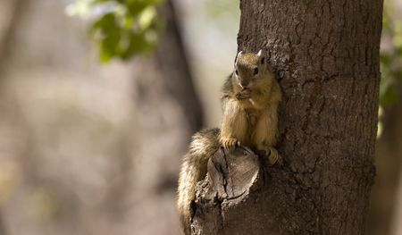Tree squirrel in Kruger National Park South Africa Stock Photo - 5381439