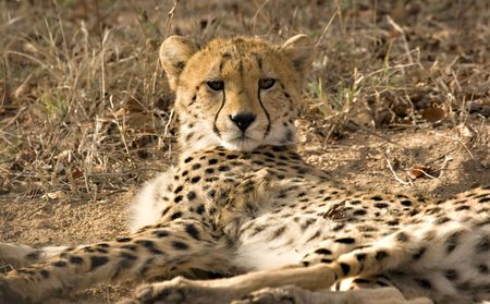 Cheetah in Thornybush Game Reserve South Africa Stock Photo - 5381405