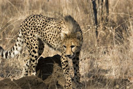 Young cheetah walking in Thornybush Game Reserve South Africa Stock Photo