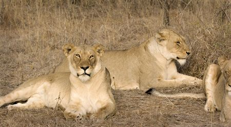 Lionesses in Thornybush Game Reserve South Africa