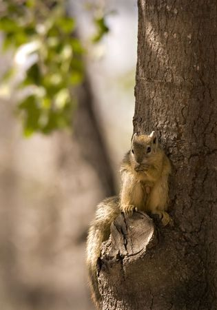Tree squirrel in kruger national park south africa