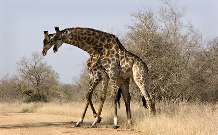 Two male giraffes in Kruger Park South Africa