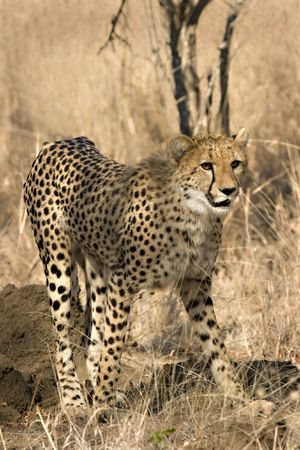 Cheetah in Thornybush Game Reserve South Africa Stock Photo