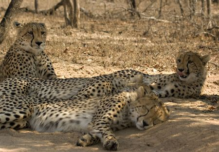 Cheetah family in Thornybush Game Reserve South Africa