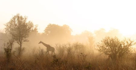 Giraffe walking on misty morning in the Kruger Park