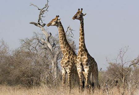 Giraffes in Kruger Park South Africa Stock Photo - 5381407