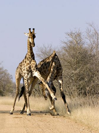 Two male giraffes fighting in Kruger National Park South Africa Stock Photo - 5381479