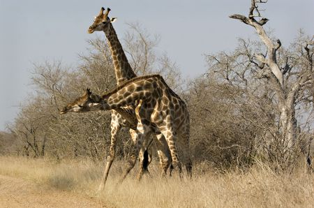 Two giraffes fighting in Kruger National Park South Africa Stock Photo - 5381448