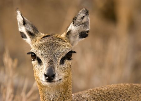 Klipspringer (Oreotragus oreotragus) in Kruger National Park South Africa photo