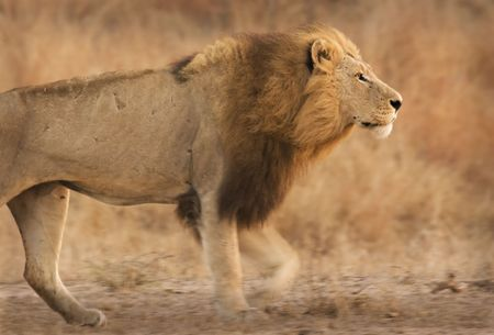 Lion walking in Kruger National Park South Africa