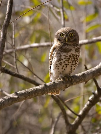 Pearl spotted owlet in Kruger National Park South Africa Stock Photo