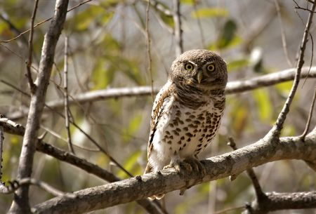 Pearl-spotted owlet in Kruger National Park, south africa Stock Photo