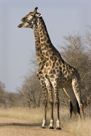 Two male giraffes standing side by side in Kruger National Park South Africa Stock Photo - 5381409