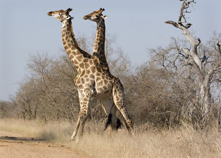 Giraffe tangled during a fight in Kruger National Park South Africa Stock Photo - 5381432