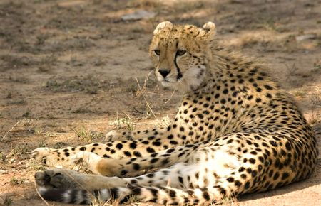 Cheetah in Thornybush Game Reserve South Africa Stock Photo - 5381486