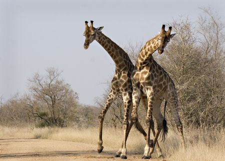 Two giraffes pushing each other in Kruger National Park South Africa Stock Photo - 5381481
