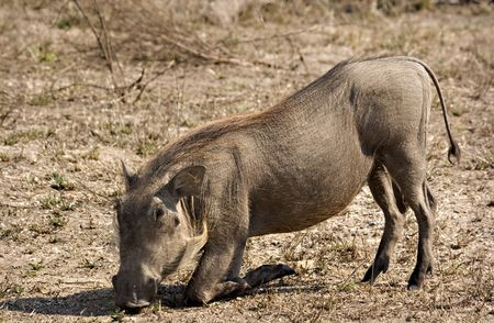 Warthog grazing in Kruger National Park South Africa Stock Photo