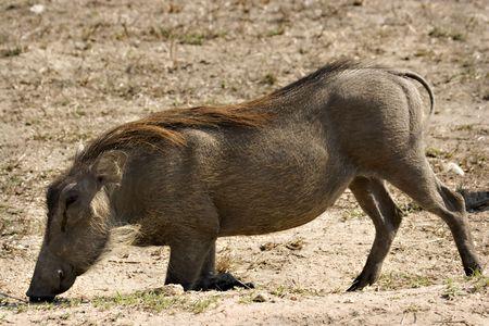 Warthog de pastoreo en las rodillas en el Parque Nacional Kruger de Sud�frica Foto de archivo - 5383463