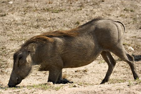 Warthog grazing on his knees in Kruger National Park South Africa Stock Photo - 5383463