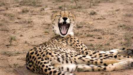 Yawning cheetah in Thornybush Game Reserve South Africa
