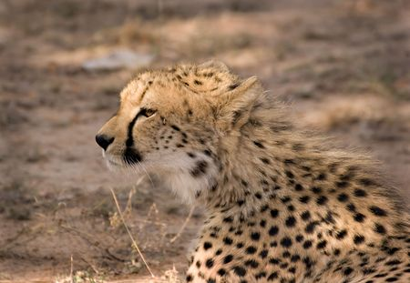 Young cheetah in Thornybush Game Reserve South Africa