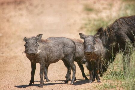 Warthogs in Kruger National park South Africa
