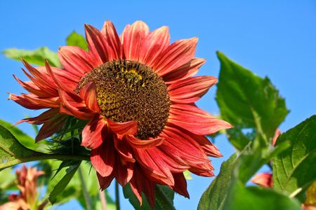 Beautiful red sunflower under blue sky Stock Photo