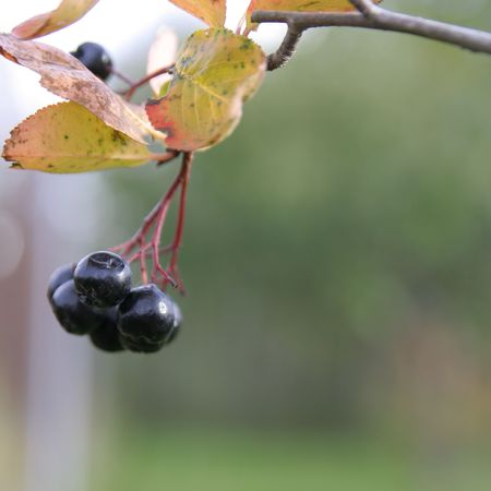 Chokeberry branch in autumn