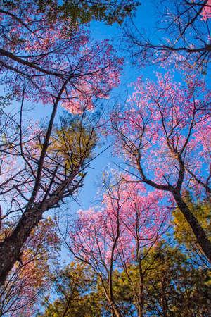 prunus: Prunus cerasoidess Sakura tree. Chiangmai Thailand