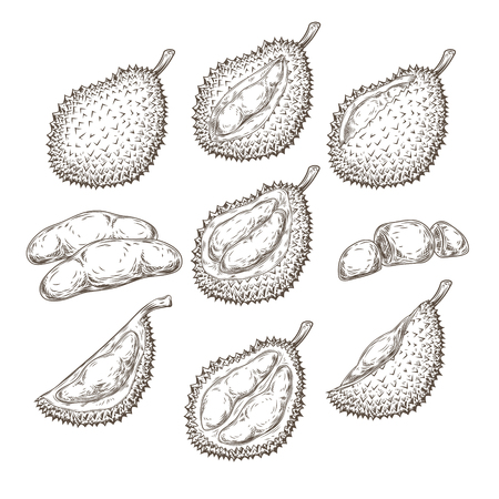 Set of vector illustrations, icons of a durian fruit whole and peeled in an engraving style isolated on a white background. Print, template, design element