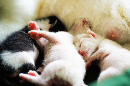 Mother cat is feeding three kittens. Stockfoto