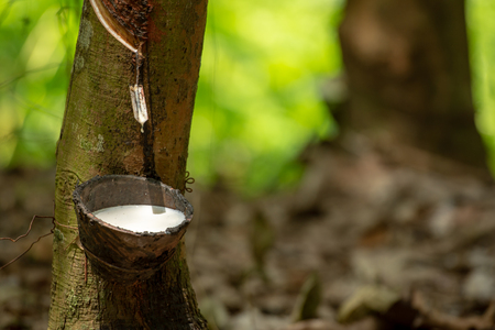 latex extracted from rubber tree source of natural rubber