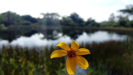 Yellow flower backlit with green vegetation background and a blue lake