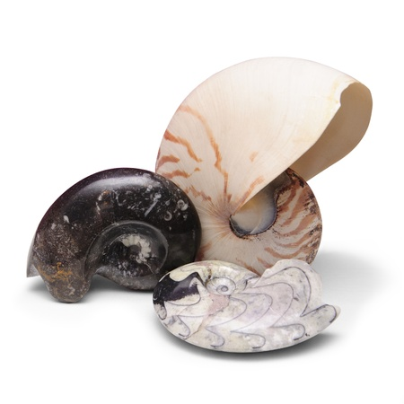 paleontology: Ammonite fossils and nautilus shell on white background
