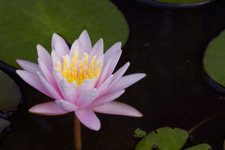 lotus pattern: Lotus