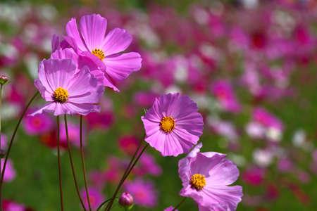 Cosmos Flower Stock Photo - 14368779