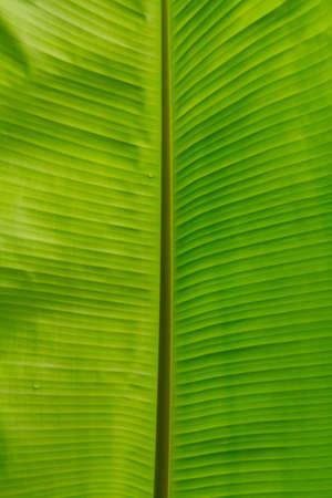 banana leaf: Banana leaf