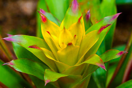 Yellow Guzmania photo
